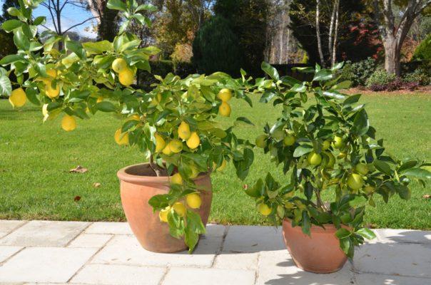 citrus in pots 1