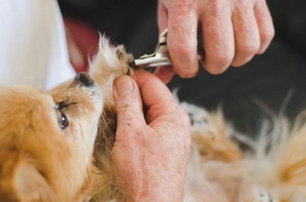 Kuidas koera küüsi lõigata?