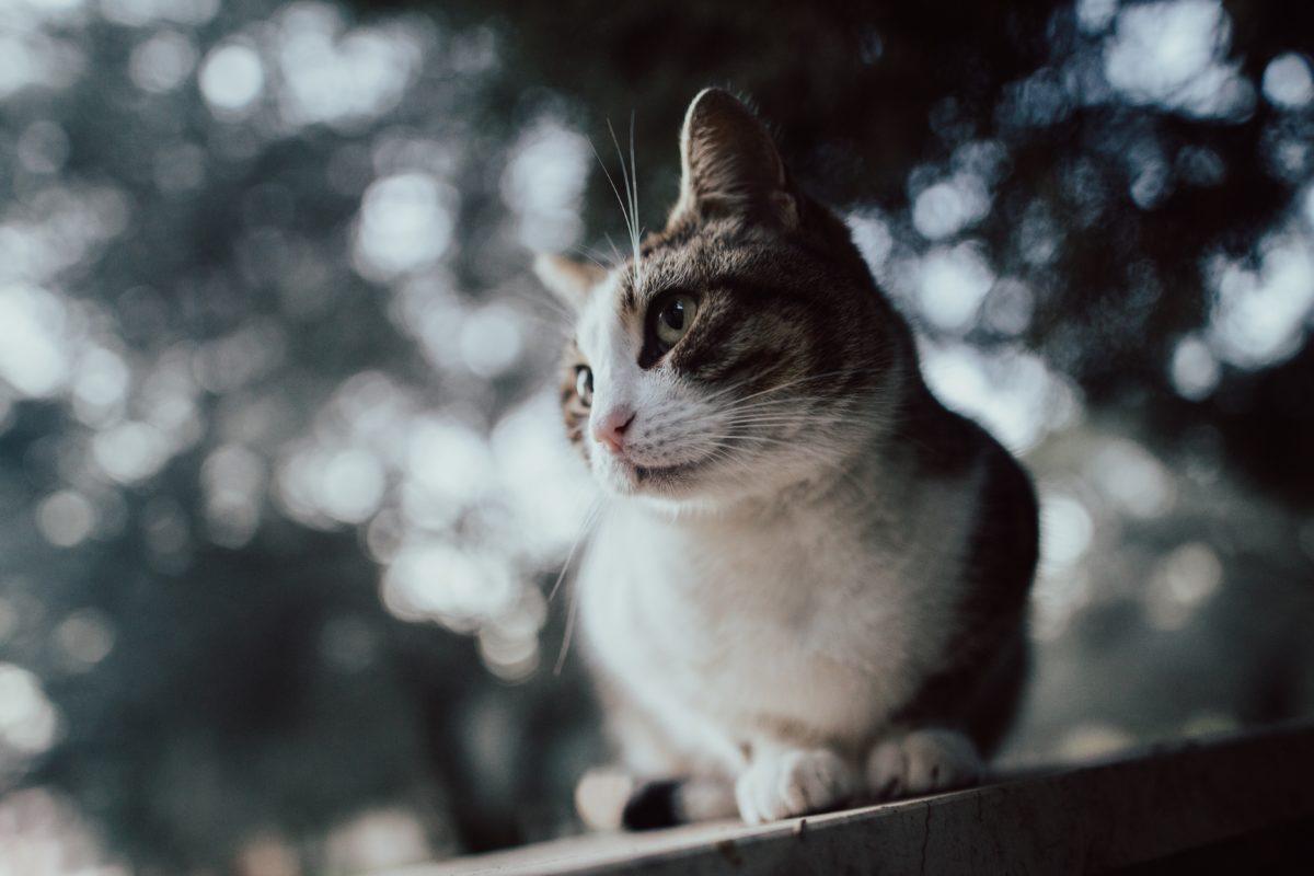 Kuidas kodustada hulkuvat kassi?