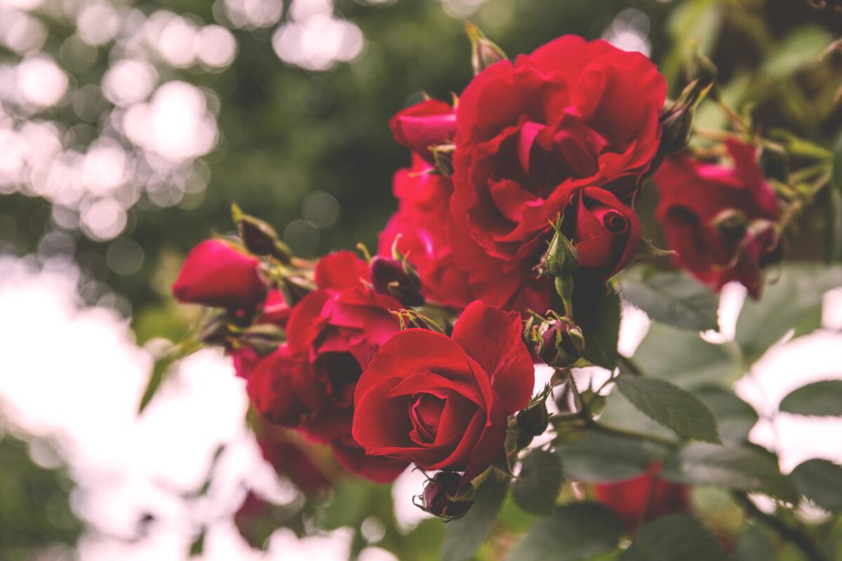 Kuidas kasutada roosivett?