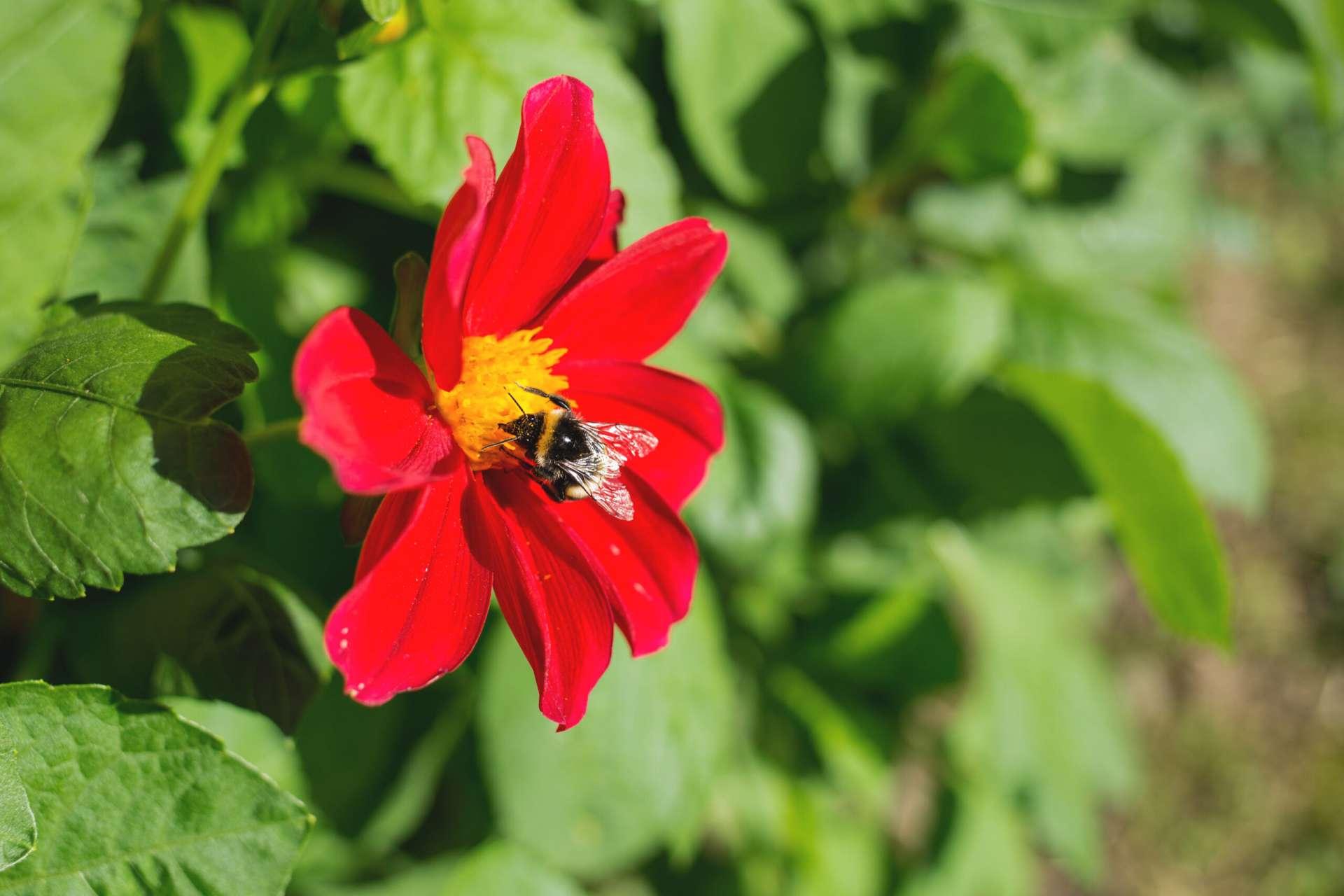 Miks on mesilased olulised ja kuidas neid aidata scaled