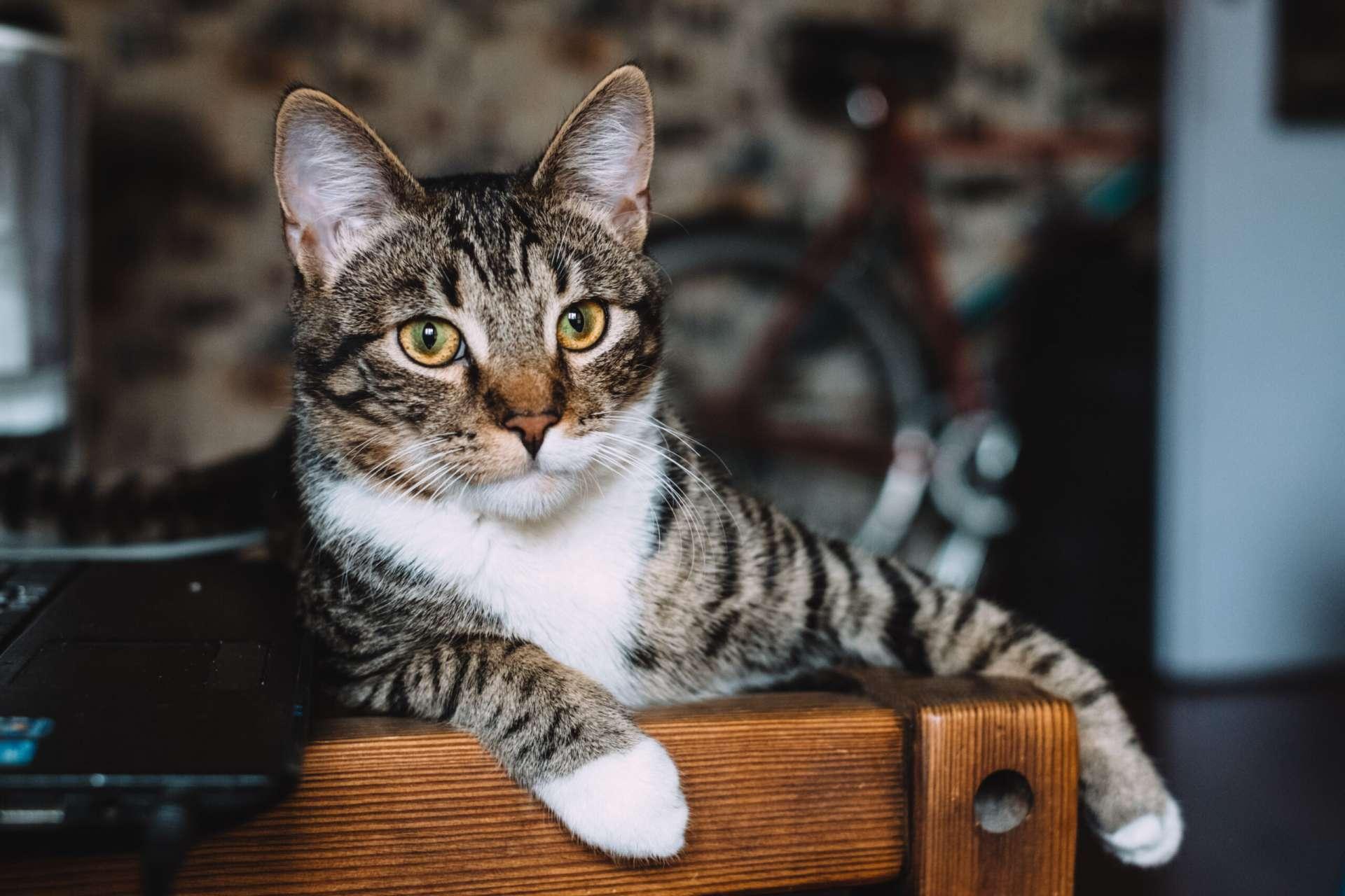 Kuidas ravida kassi kohulahtisust scaled